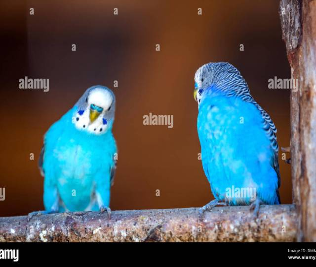 Small Bright Blue Parrots Birds Sitting On Tree Branch On Blurred Copy Space Background Keeping Pets At Home Concept