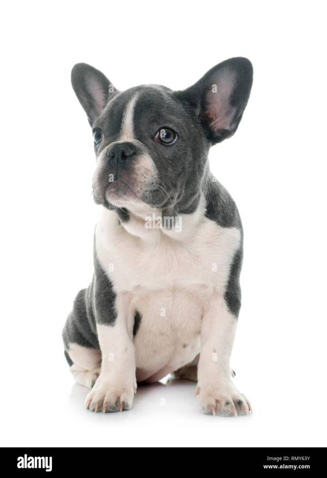 grey french bulldog in front of white background stock photo