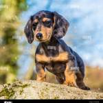 Miniature Dachshund Puppy Stock Photo Alamy