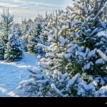 Christmas Tree Farm High Resolution Stock Photography And Images Alamy