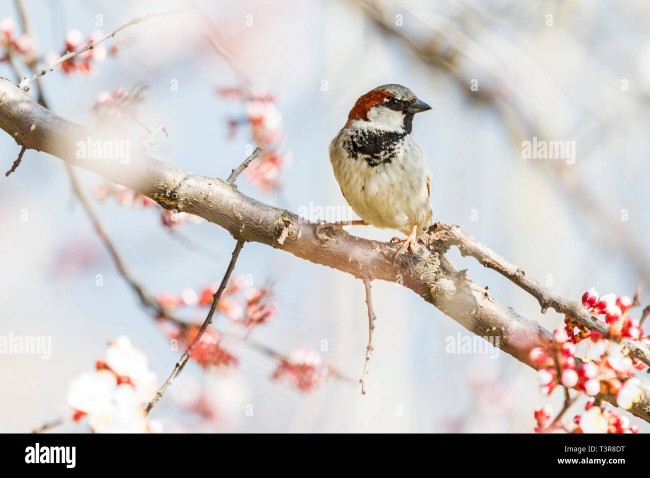 Sparrow Sits On A Beautiful Branch Among The Blossoming Apricot Stock Photo Alamy