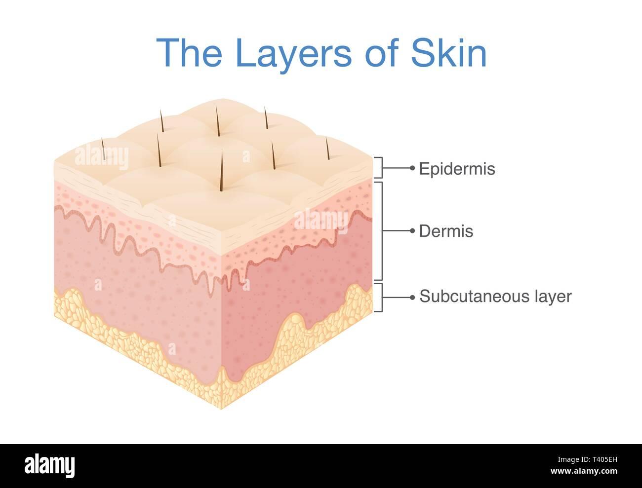 Human Skin Diagram Stock Photos Amp Human Skin Diagram Stock