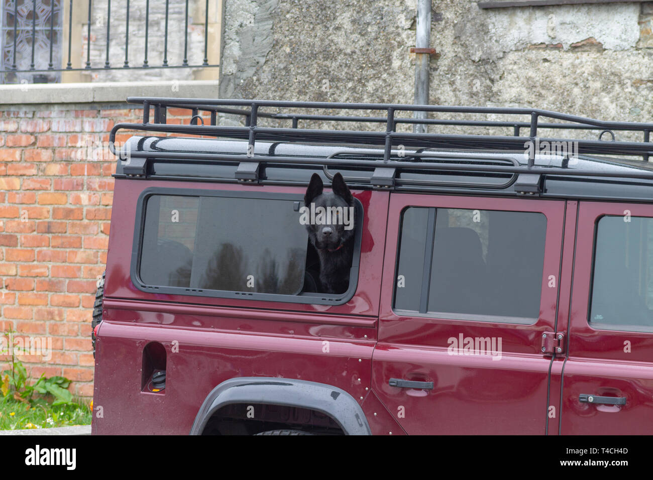 https www alamy com black alsatian or gsd german shepherd dog looking out the window of a land rover defender image243680653 html