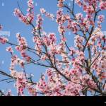 Beautiful Cherry Blossom Tree With Blue Natural Background Stock Photo Alamy