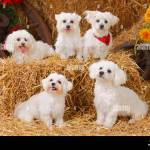 Group Of Five Maltese Dogs Sitting On Straw Bales Stock Photo Alamy