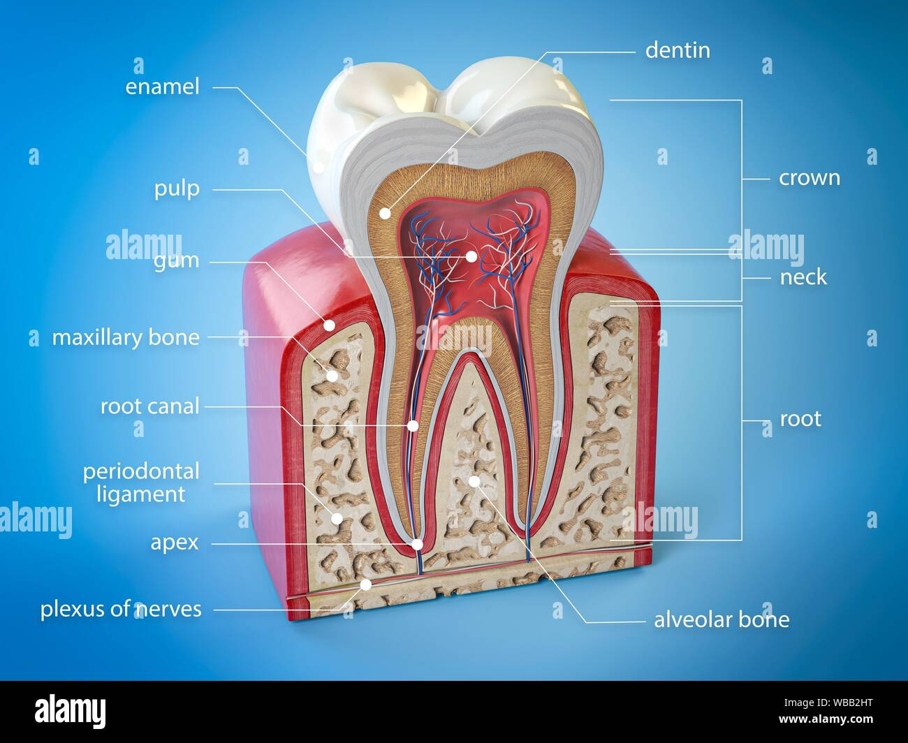 Dental Tooth Anatomy Cross Section Of Human Tooth With