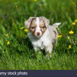 Miniature American Shepherd Or Miniature Australian Shepherd Or Mini Aussie Puppy Red Merle In Flower Meadow Stock Photo Alamy