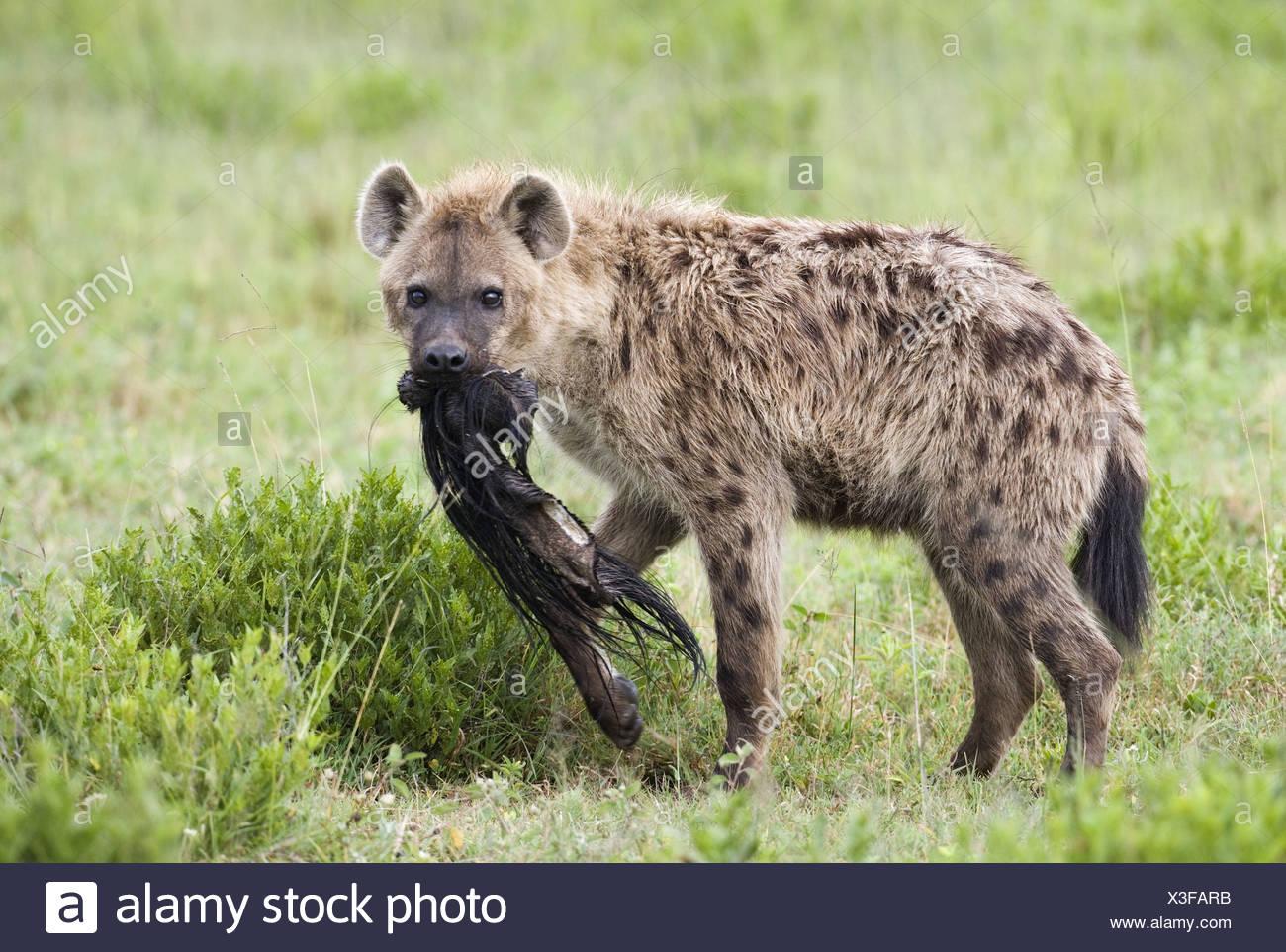 Zoology Animals Mammal Mammalian Hyenas Spotted