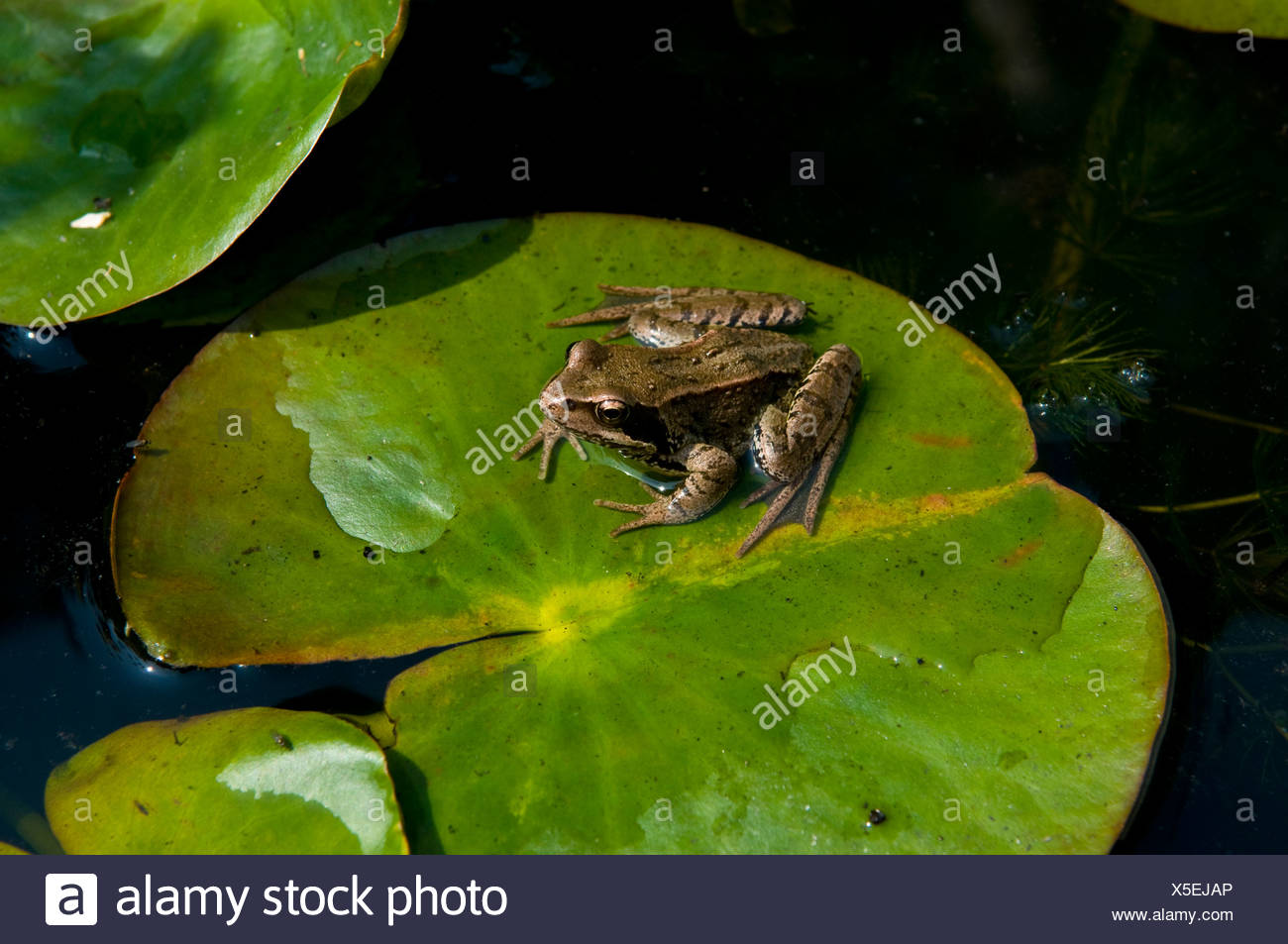 Frog On Lily Pad In Thetford Stock Photo