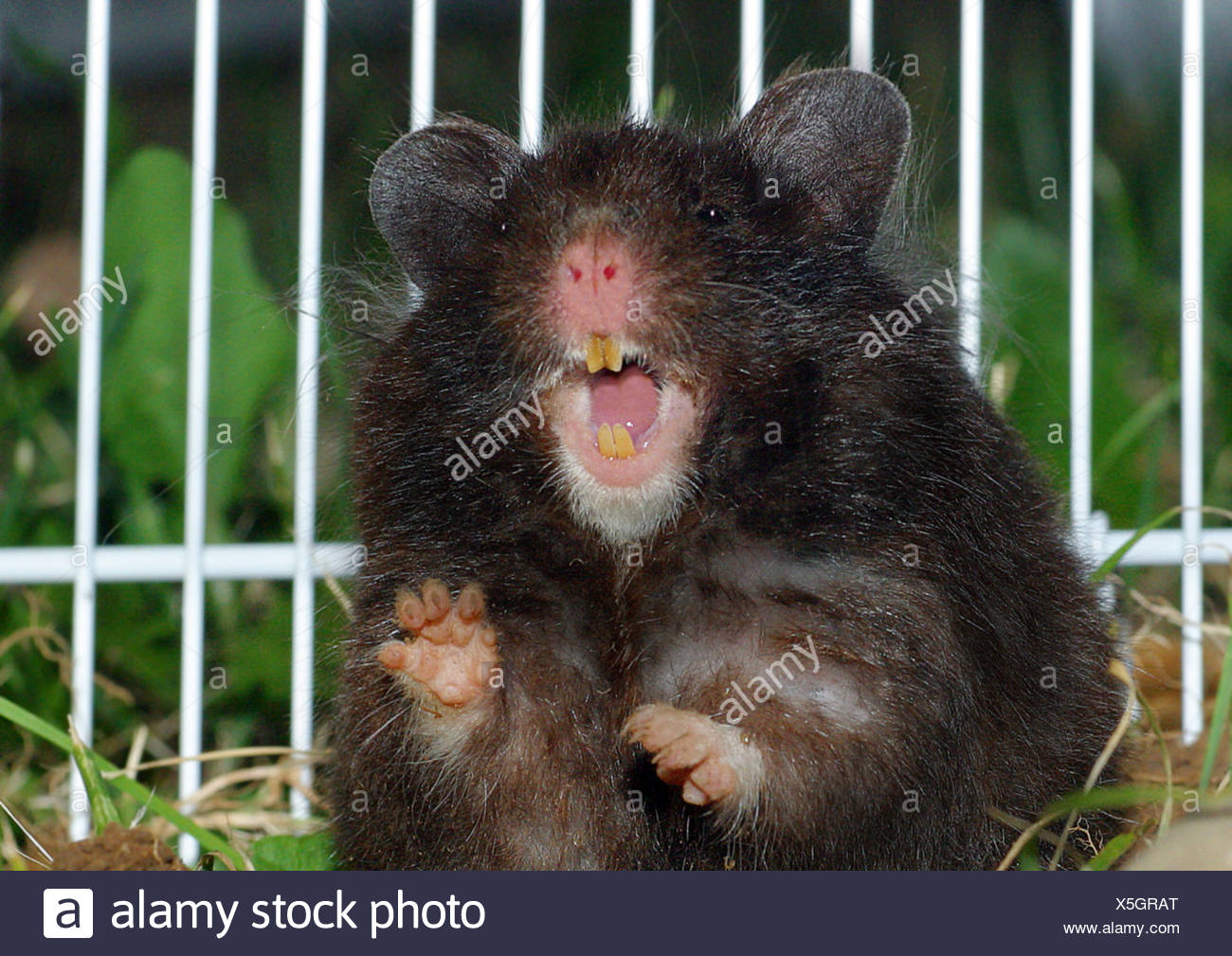 H Is For Hamster Stock Photos Amp H Is For Hamster Stock