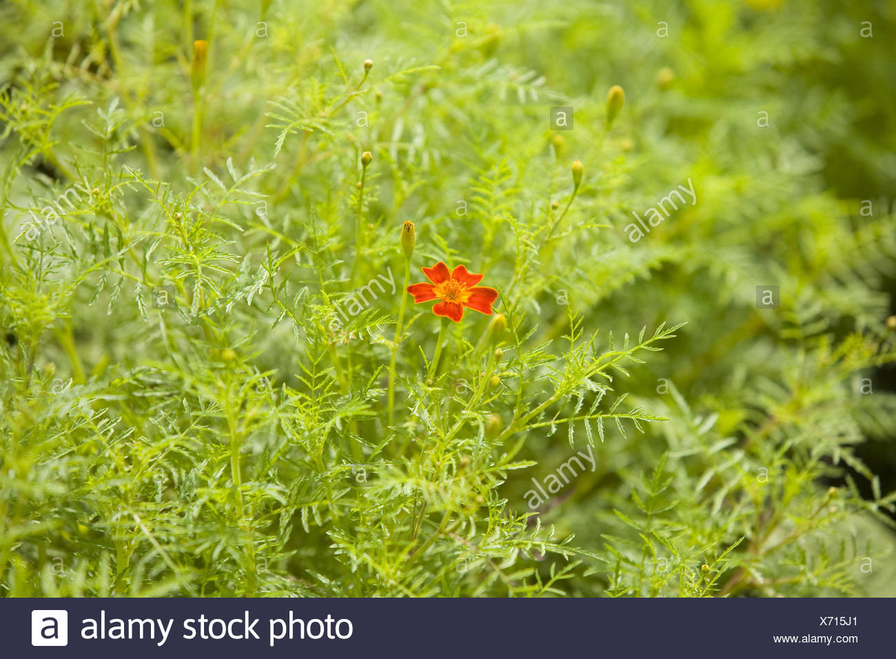 French marigold  blossom  red  cottage gardens  plants  flowers     French marigold  blossom  red  cottage gardens  plants  flowers  French  marigold  Sammetblume  dead person s flower  composites  summer flowers   nature
