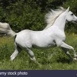 Shagya Arabian Horse Running On Meadow Stock Photo Alamy
