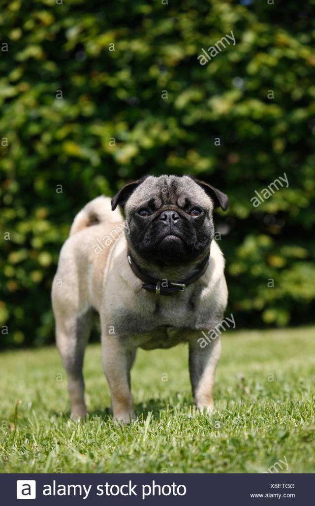 mixed breed dog (canis lupus f. familiaris), mix breed between pug