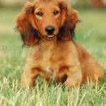 Long Haired Red Dachshund Puppy Sitting In Grass Stock Photo Alamy