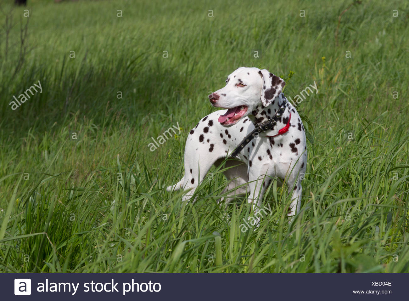 Dalmation Pictures Background Great