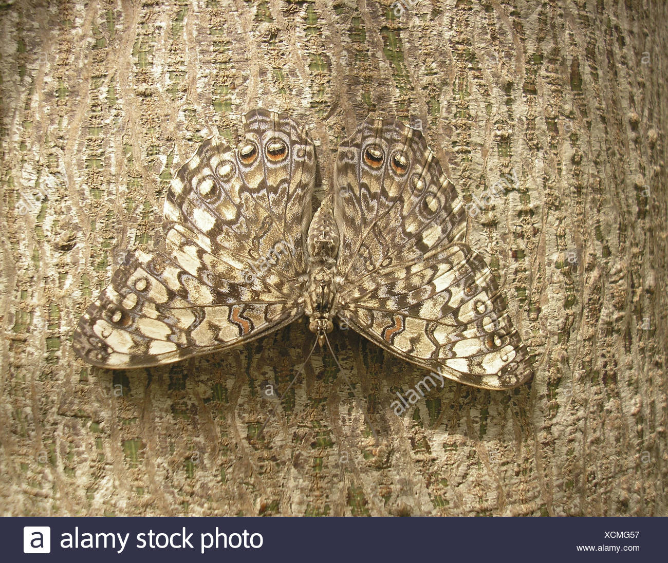 Butterfly Bark Moth Camouflage Adaptation Abandon Go