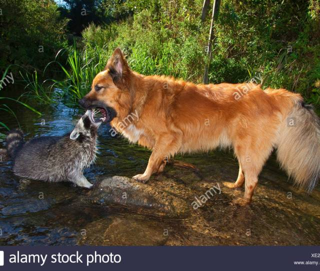 Common Raccoon Procyon Lotor Tame Pup Chummy With Dog Playing Together At A Brook Friedship Between Dog And Wild Animal Germany