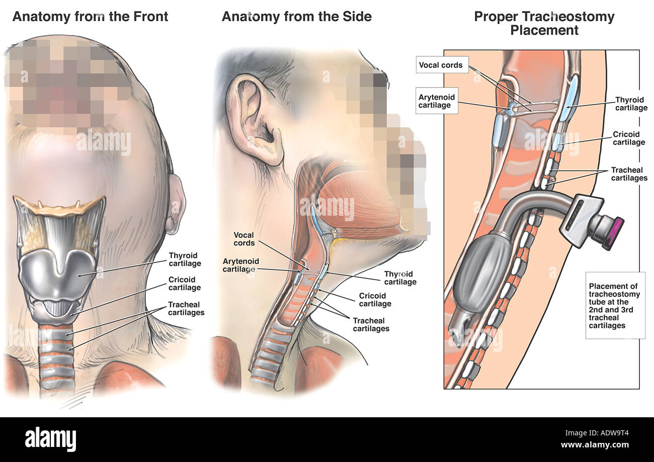 Luxury Vocal Cord Anatomy And Function Frieze - Human Anatomy Images ...
