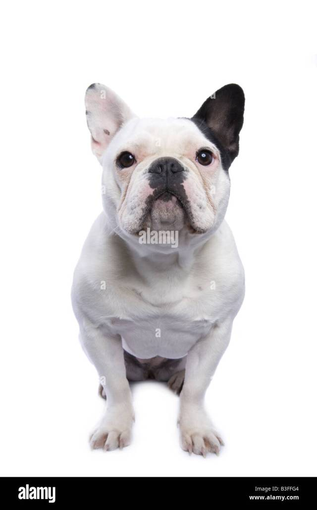 black white french bulldog sitting stockfotos & black white