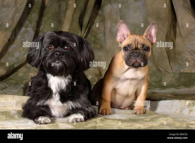 zwei hunde - shih tzu und französische bulldogge betrachten