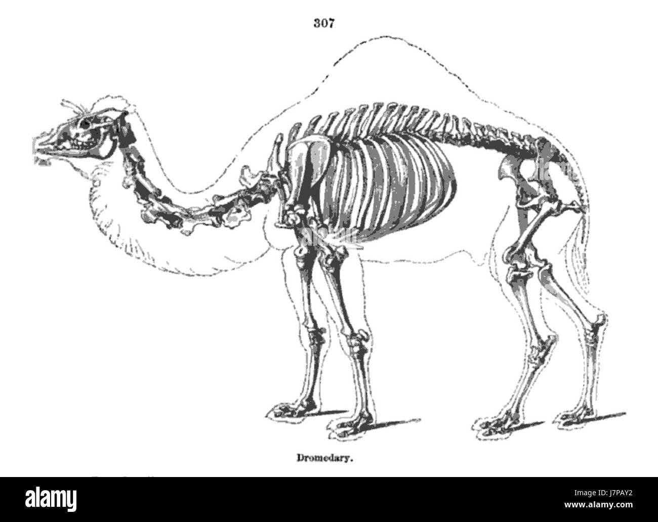 Kamel Skelett Richard Owen Uber Anatomie Der