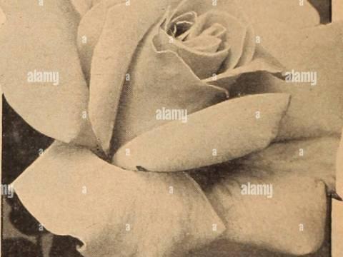 rosen kordes katalog dreer der gro�handel katalog f�r floristen und g�rtner