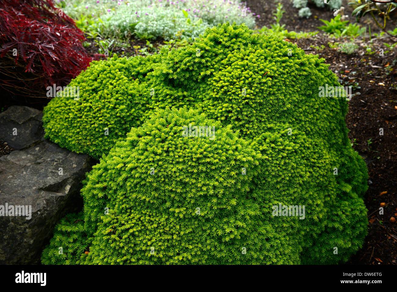 https www alamyimages fr picea abies petit bijou nain coniferes plante compacte a feuillage vert portraits aiguilles feuilles couvre sol couvre sol a feuillage persistant image67140880 html