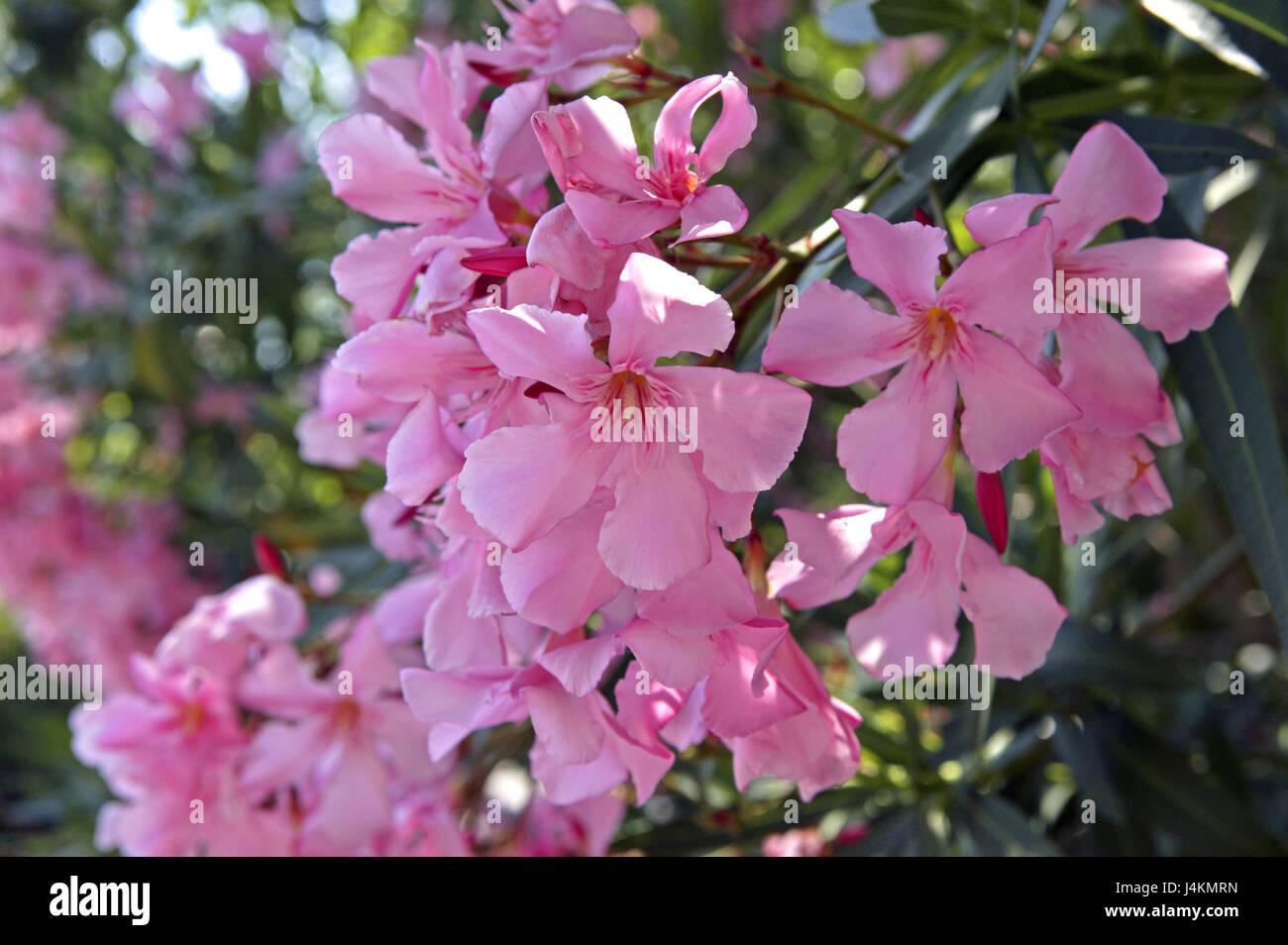 https www alamyimages fr photo image les oleandres nerium detail les fleurs rose a l exterieur fleur fleurs fleurs fleurs periode de floraison botanique nature plante plantes arbustes buissons de lauriers roses l ete rome italie europe 140575001 html