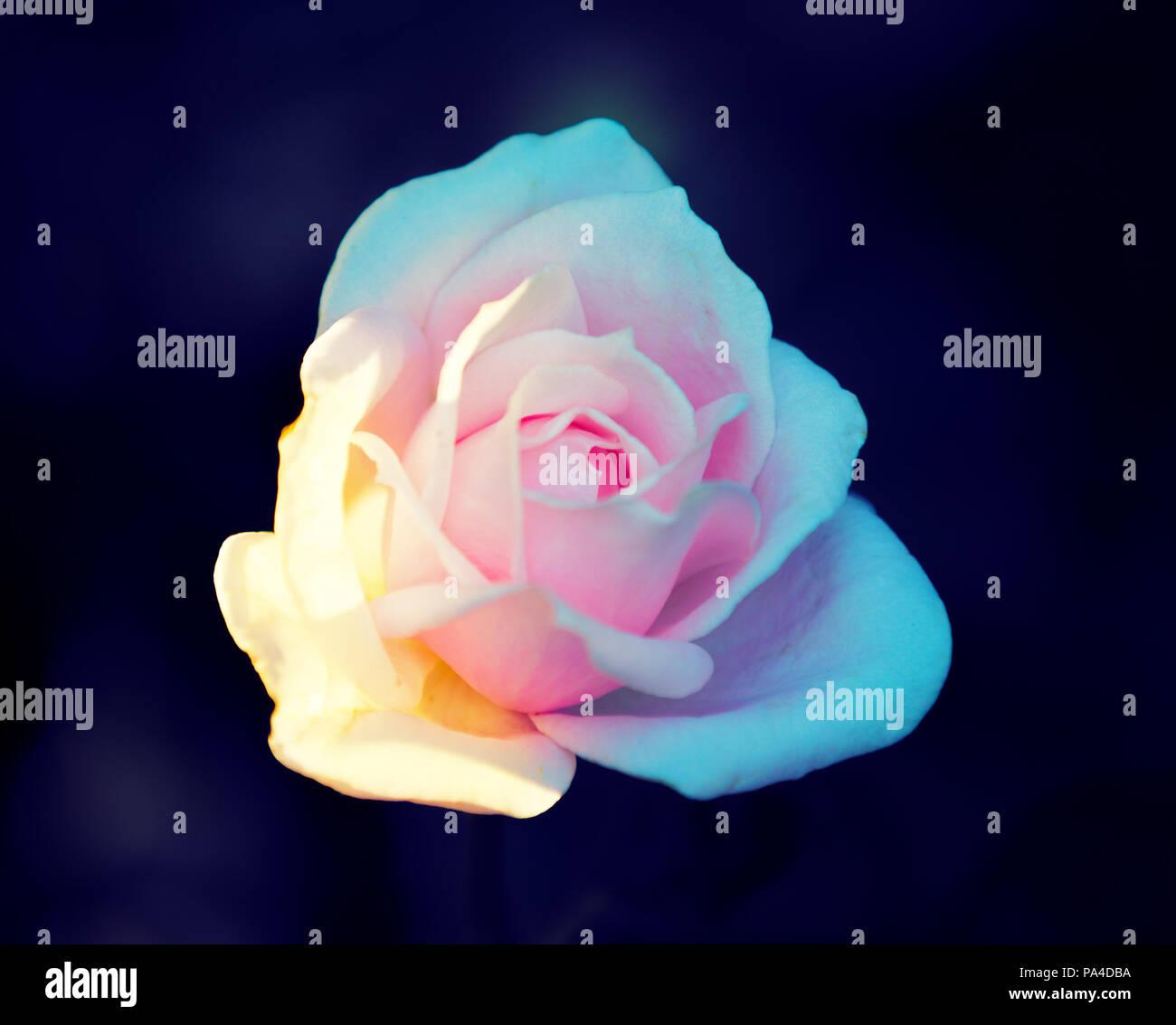 https www alamyimages fr fond fleur vintage rose sur fond noir image212769294 html