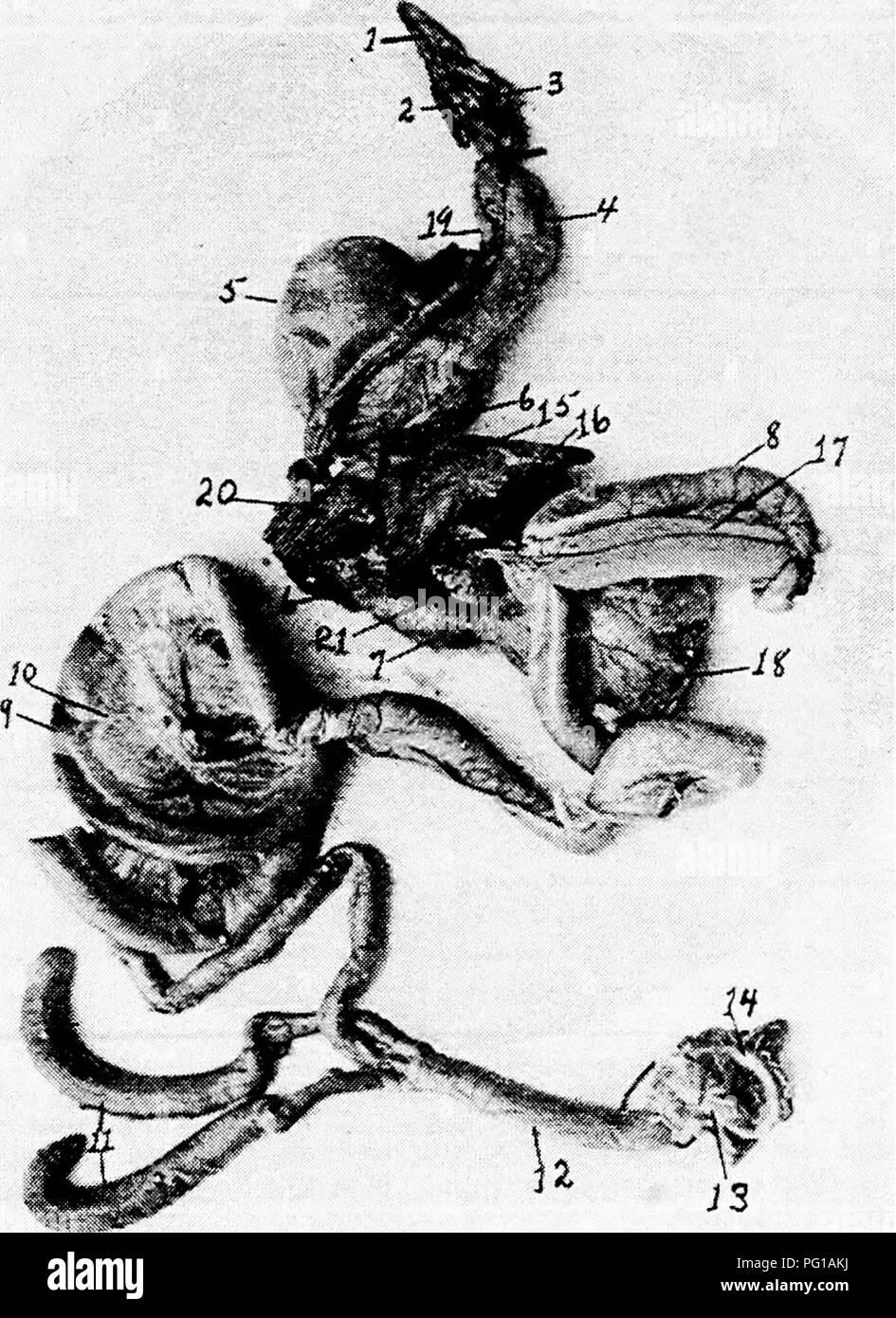 https www alamyimages fr l anatomie de la poule domestique les animaux domestiques medecine veterinaire la volaille j40 anatomie de la mandibule inferieure de la poule et est suspendue au crane par l activite de la cerato element de l os hyoideum fig i8 n 2 la forme la langue est fait a l avant et large derriere en forme de tete de fleche indienne et est pris en charge par l appareil hyoide osseux et cartilagineux fig g a fig 31 les organes visceraux de la poule i langue maternelle 2 du larynx 3 la glotte 4 premiere partie de l oesophage 5 recolte 6 deuxieme partie de l oesophage 7 proventricule 8 le duodenum 9 gratuitement ou floa image216389254 html