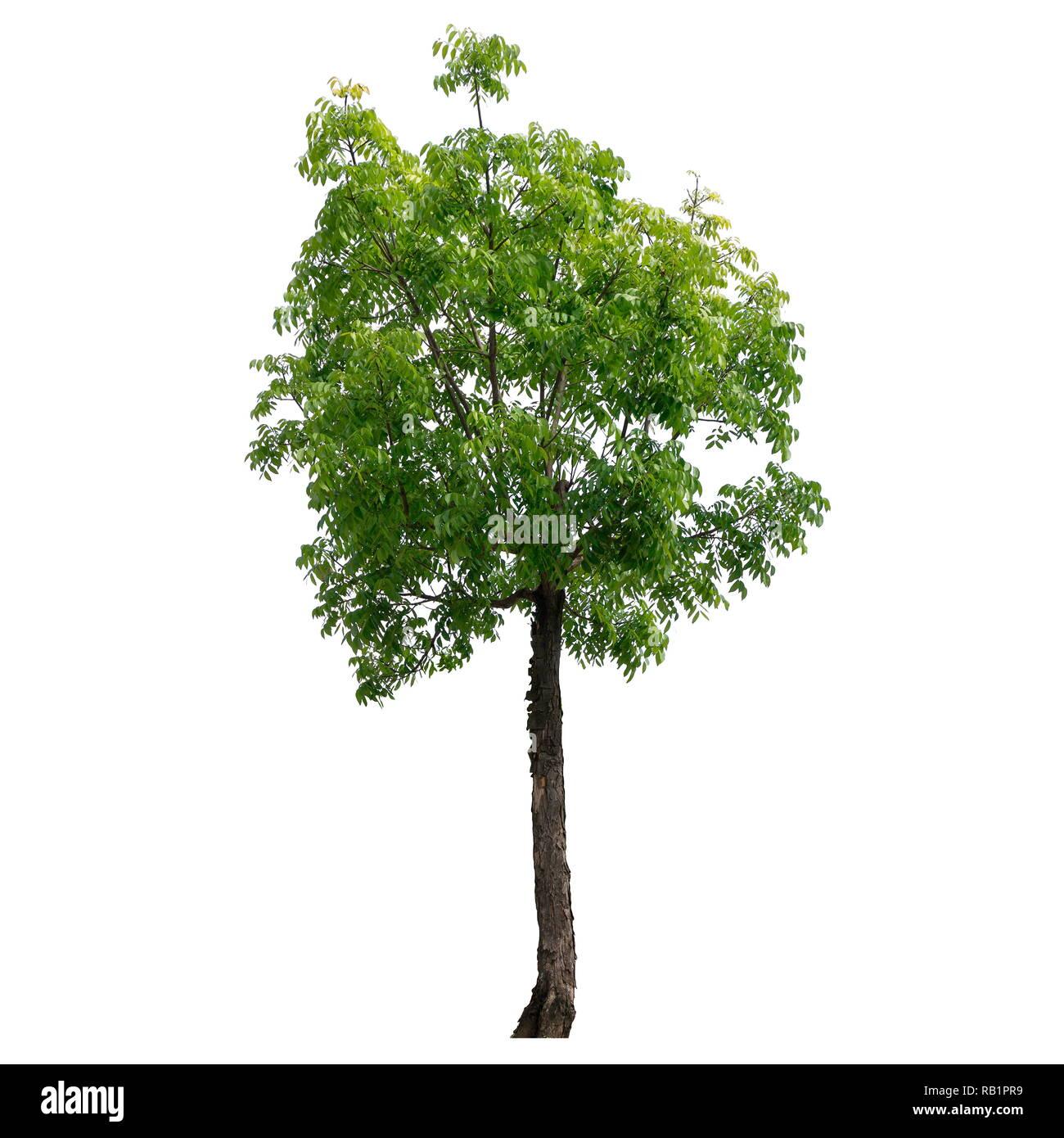 https www alamyimages fr arbre isole sur un fond blanc pour la conception d arbres ou de decoration image230535853 html