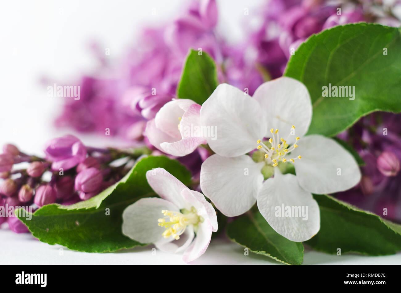 https www alamyimages fr beau fond d ecran printemps avec abricot et fleurs lilas la photo en gros plan de fleurs de printemps image236322114 html