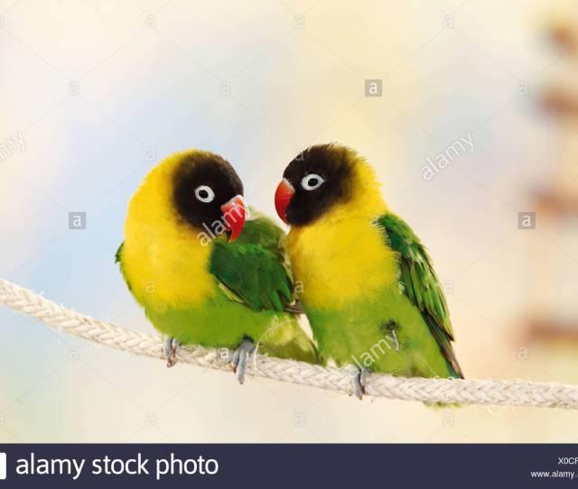 Deux Oiseaux Sur Lamour Masque Agapornis Personatus Corde Photo Stock