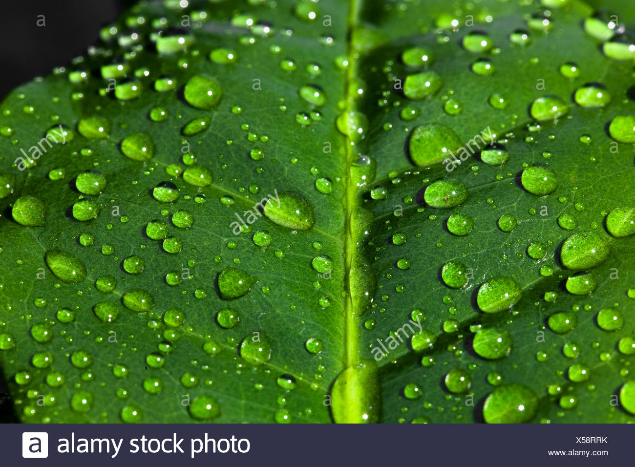 https www alamyimages fr goutte d eau sur une feuille d arbre de cafe image278633479 html
