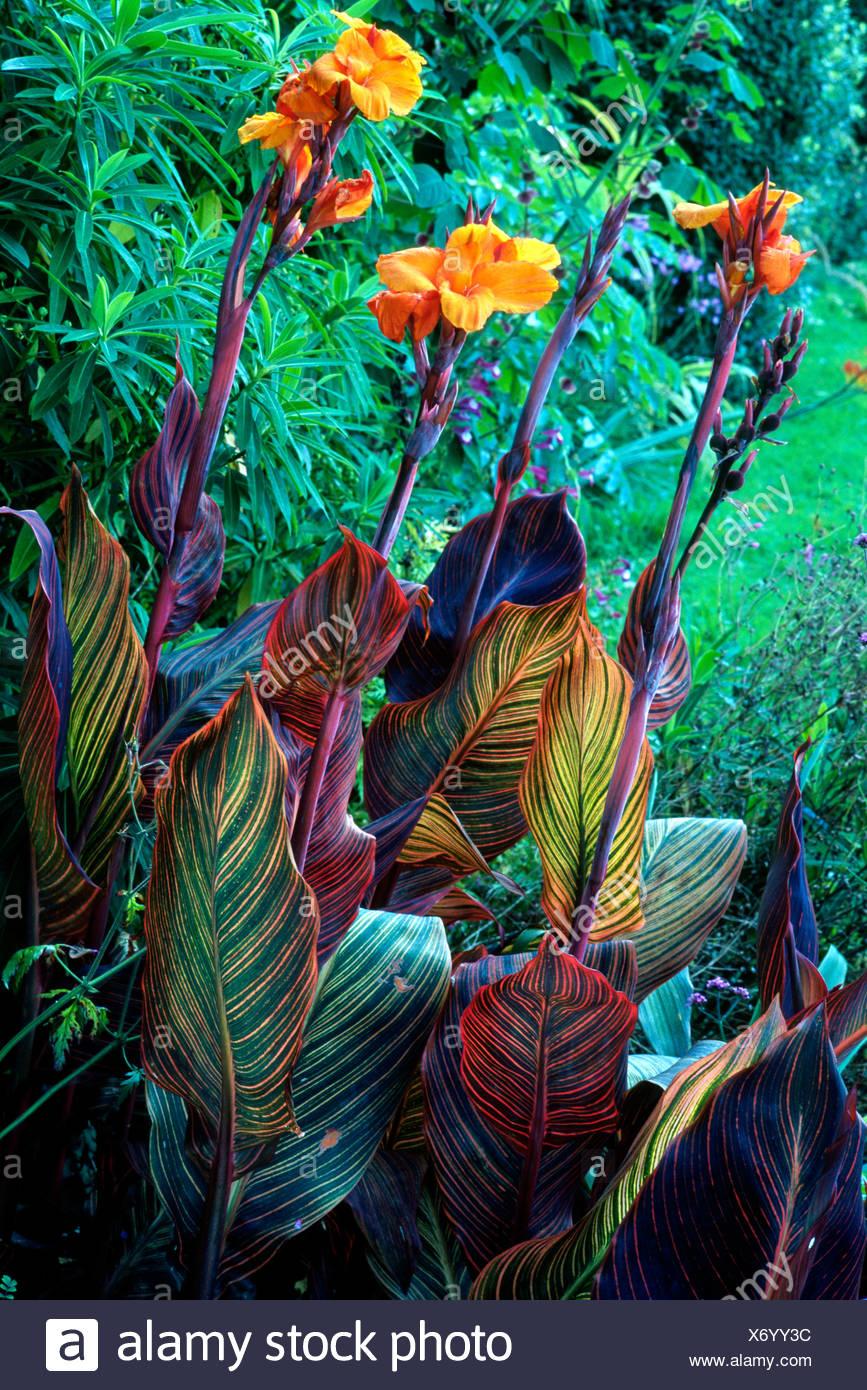 https www alamyimages fr canna durban plantes jardin jardins de plantes exotiques fleurs orange rhizome cannas image279667792 html