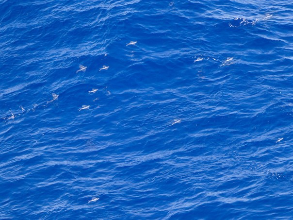Flying Fish were plentiful along our route and the ship seemed to scare them up as we passed.