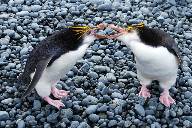 Royal penguins sparring at The Nuggets