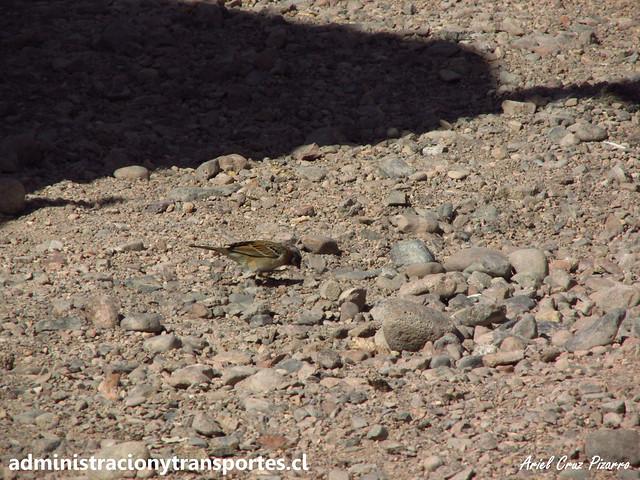 Chincol (Zonotrichia capensis)