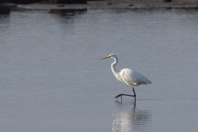 Distant Great White Egret