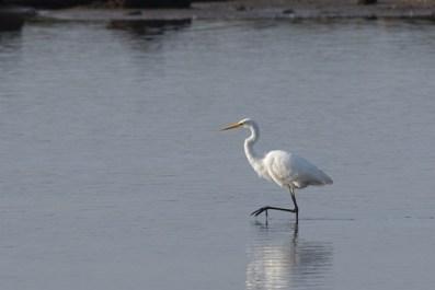Distant Great White Egret