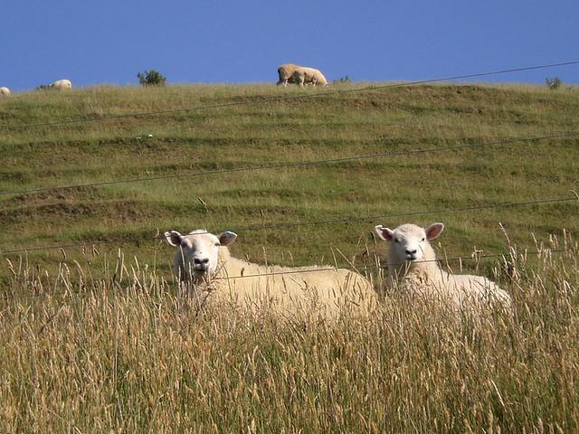 New Zealand Tour Sheep
