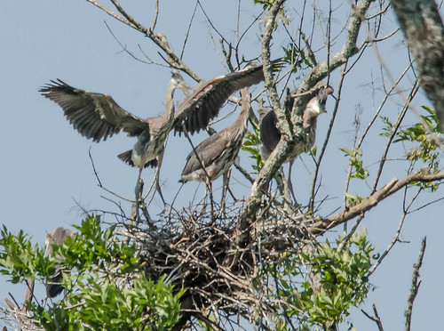 Heron Rookery at Lake Connestee-009