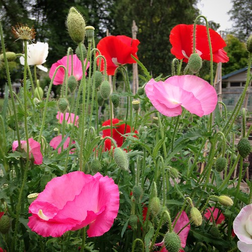 Poppies in my garden plot