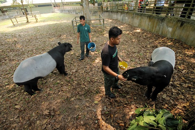 Malayan Tapirs