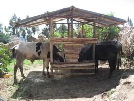 Improved cattle feedtrough in Gudo Beret, Amhara (Photo credit: ILRI/P.Thorne)