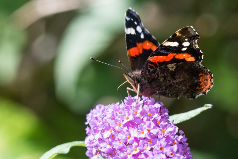 Red Admiral nectaring on Buddleia