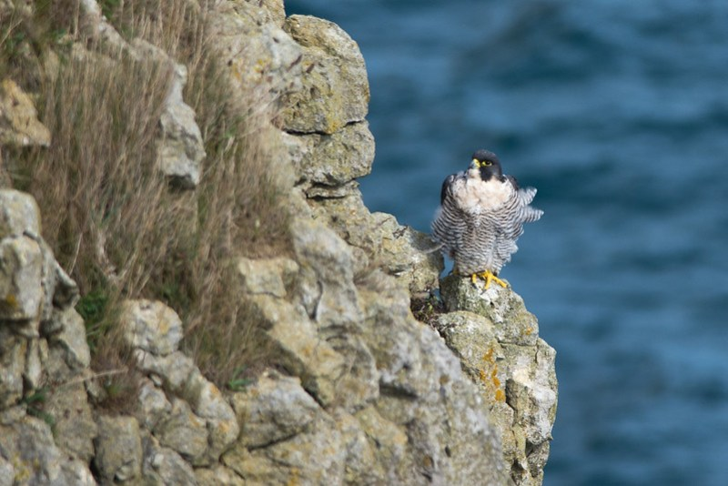 Peregrine on the seacliffs at Durlston Country Park