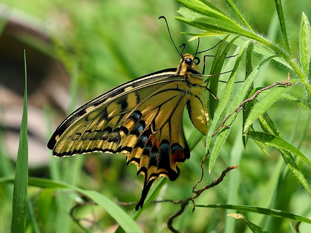 Old World swallowtail butterfly (アゲハ)