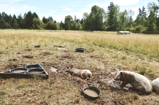 Pigs rolling in the mud