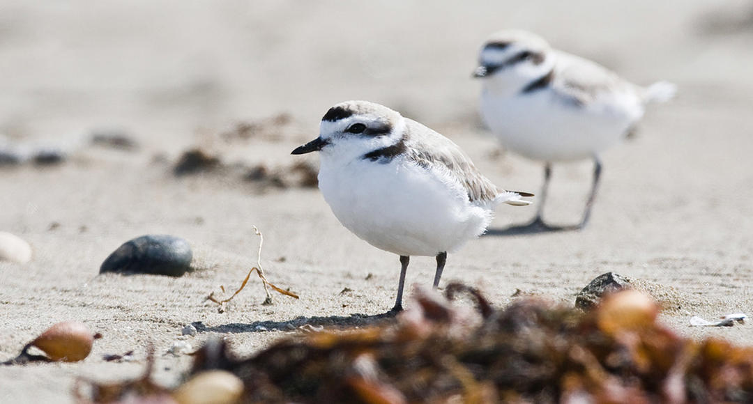 Image result for Western snowy plover